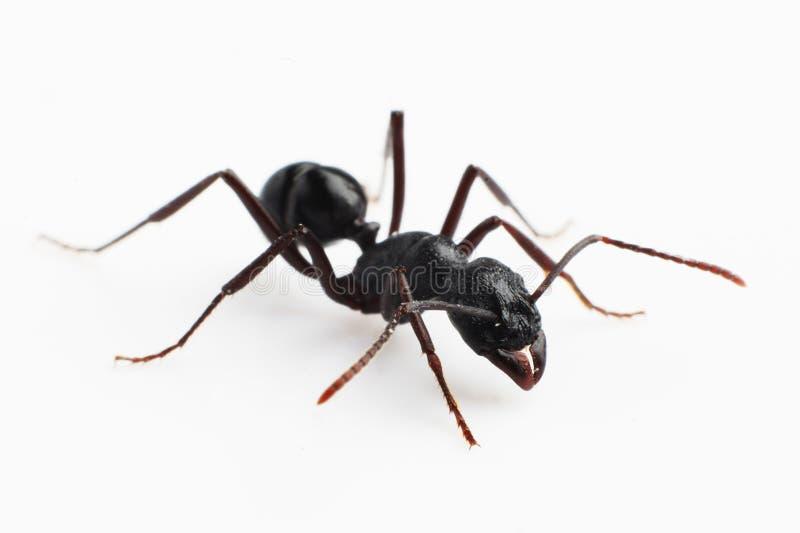 mrówki obrazy stock