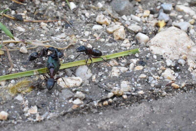 Mrówki atakuje pluskwy zdjęcia royalty free