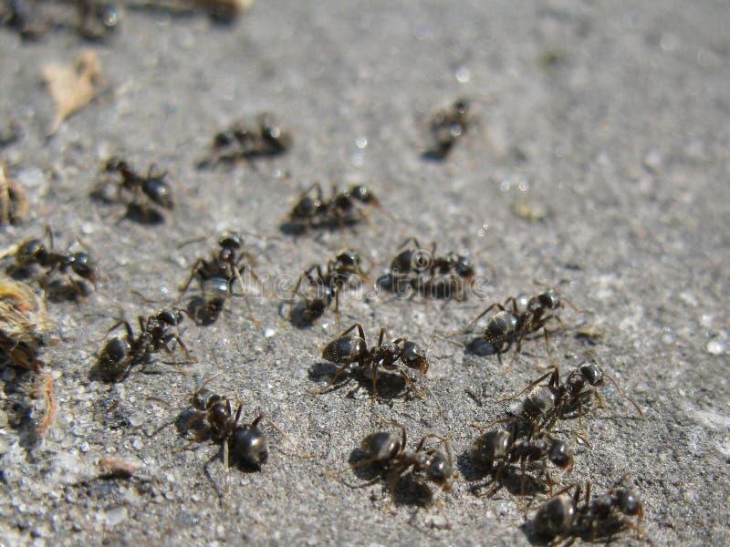 mrówki czerń obrazy stock