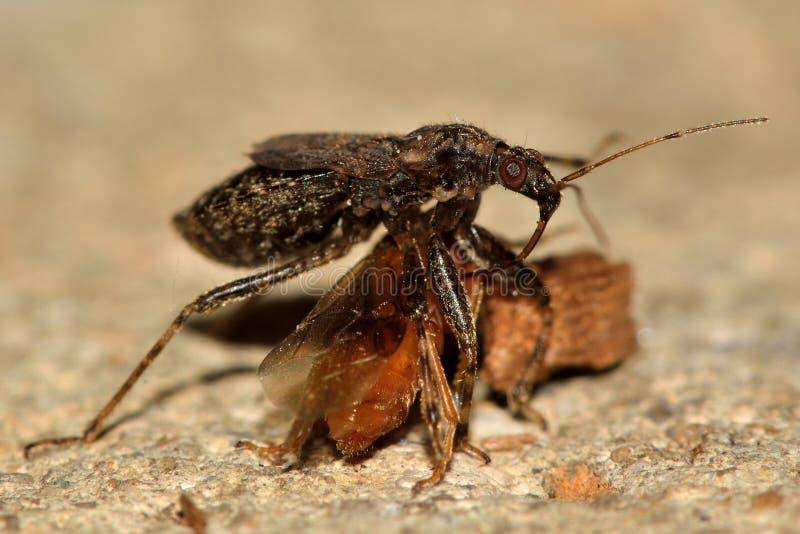 Mrówki damsel pluskwy karmienie na komarnicie od strony (Himacerus mirmicoides) zdjęcia royalty free