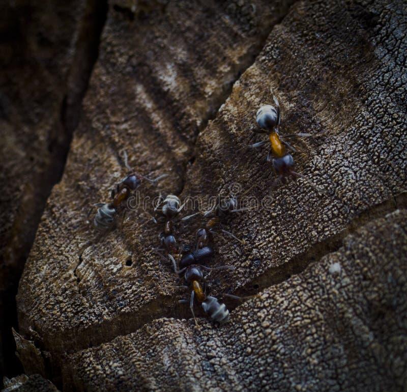 Mrówki drużyny atak zdjęcia royalty free
