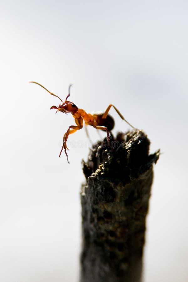 mrówki formica rufa południowy drewno obraz royalty free