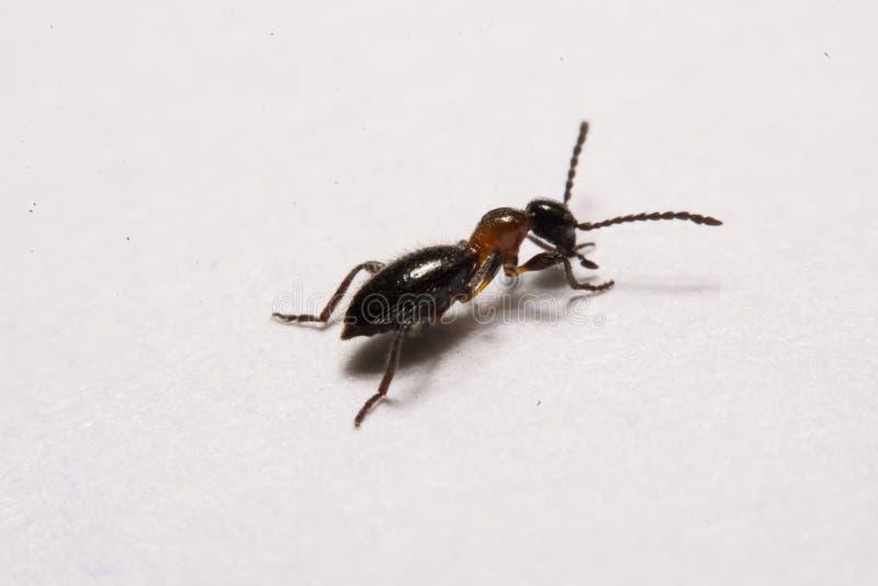 Mrówki Formica rufy fotografii mrówki na Białym tle zdjęcie stock