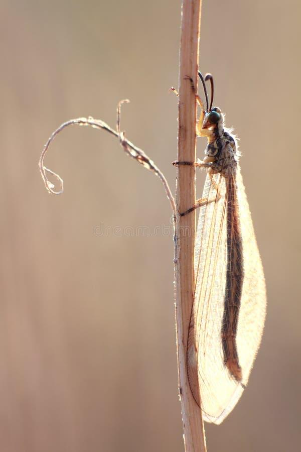 mrówki insekta lwa przejrzyści skrzydła obrazy stock