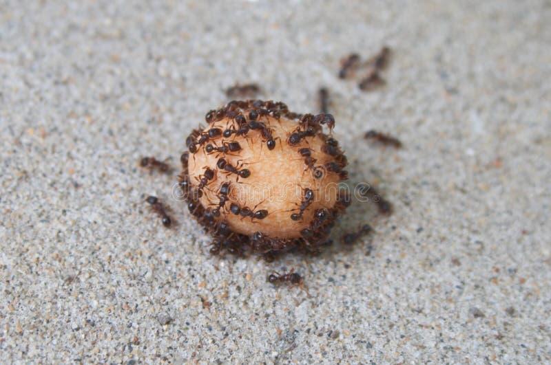 mrówki jeść obraz royalty free