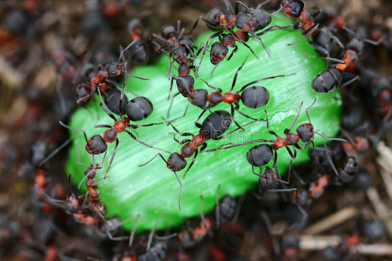 Mrówki je cukierek obrazy royalty free