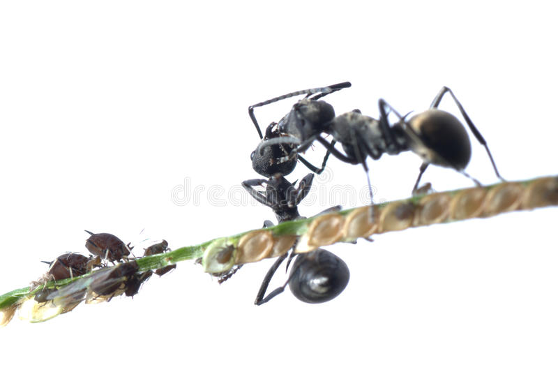 mrówki korówki symbioza obraz royalty free