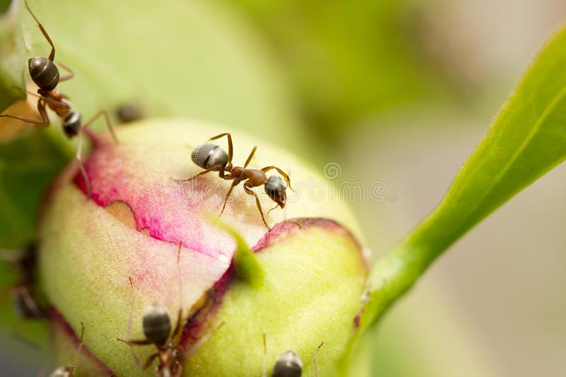 Mrówki na dużym kwiacie zdjęcie royalty free