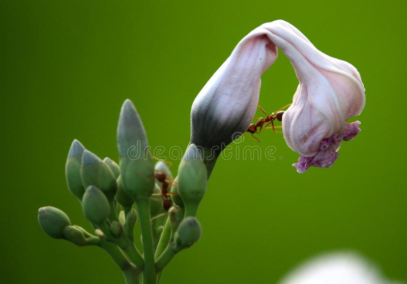 Mrówki na kwiacie fotografia royalty free