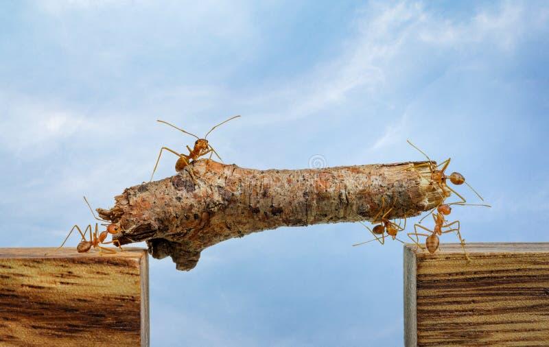 Mrówki niesie drewno przez kanał, praca zespołowa obraz royalty free