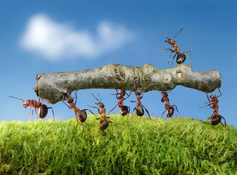 mrówki niosą naczelną beli drużyny pracę obraz stock