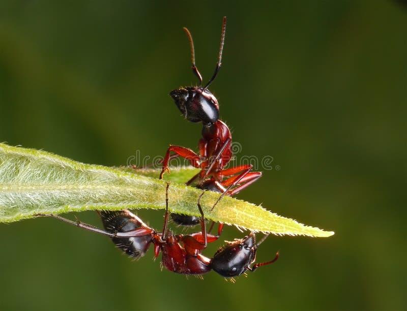 mrówki odzwierciedlać źle fotografia stock