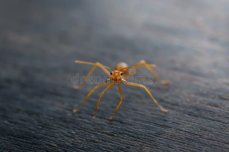 Mrówki pozycja na drewnianej podłoga zdjęcia royalty free