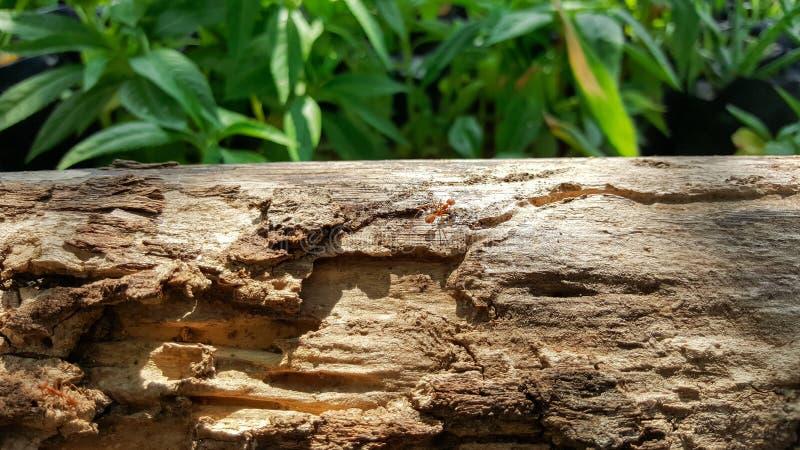 Mrówki praca na starym drewno moscie z światłem słonecznym i bieg, zielony na obraz stock
