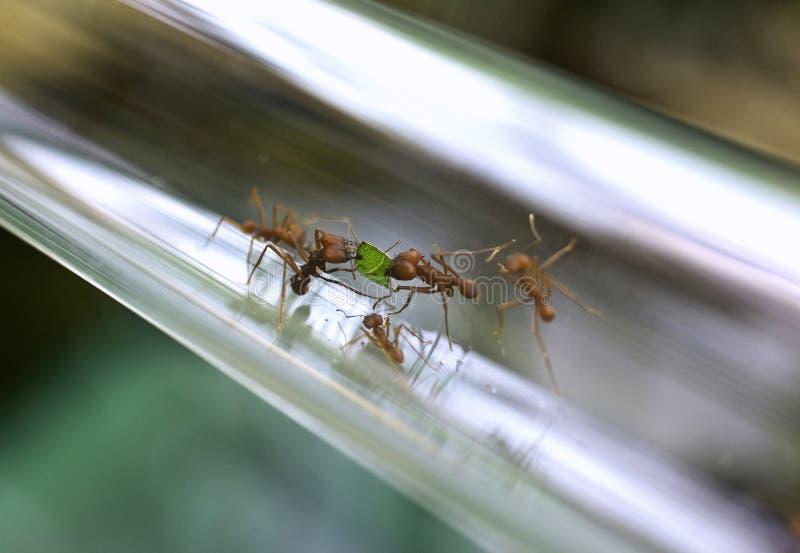 mrówki praca zespołowa fotografia stock