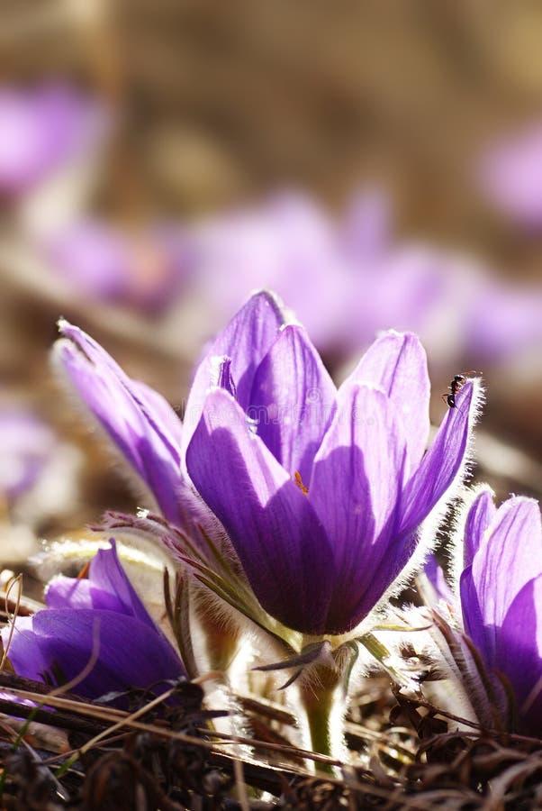 mrówki purpur śnieżyczki zdjęcia royalty free