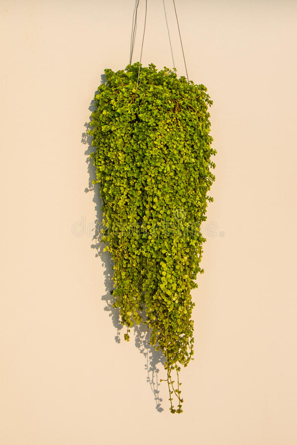 Mrówki roślina lub Dischidia nummularia Variegata obrazy stock