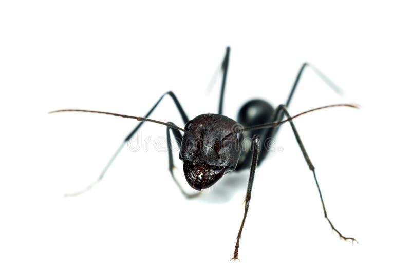 mrówki tła odosobniony biel zdjęcia stock