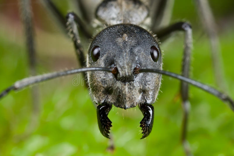 mrówki twarzy strzał fotografia stock