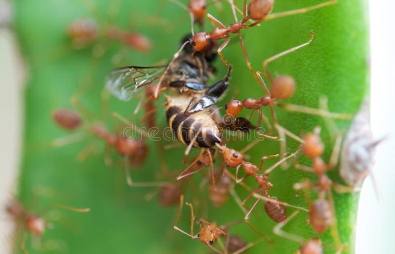 mrówki wojska pszczoła zdjęcia royalty free