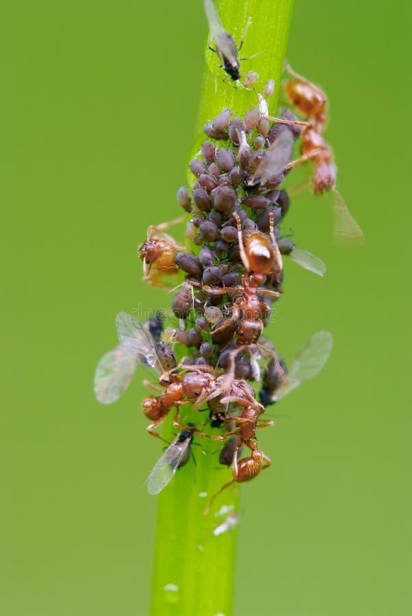 mrówki wszy paśnika roślina s obraz stock