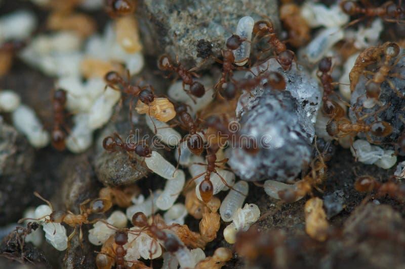 Mrówki z jajkami zdjęcie stock