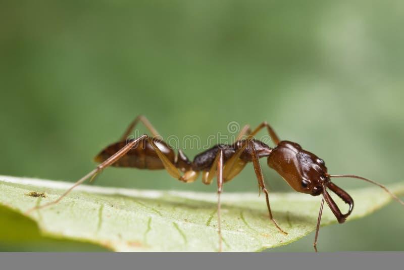 mrówki zieleni szczęki liść oklepiec obrazy royalty free