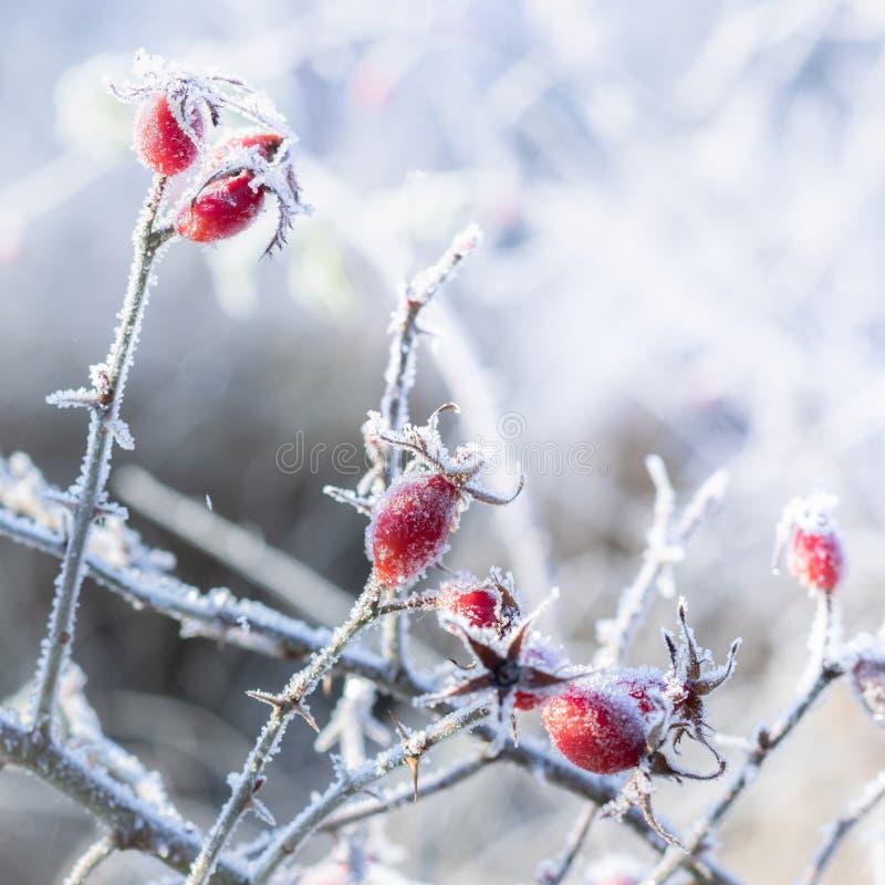 Mróz zakrywający różany biodro przeciw jaskrawemu naturalnemu tłu zdjęcie stock