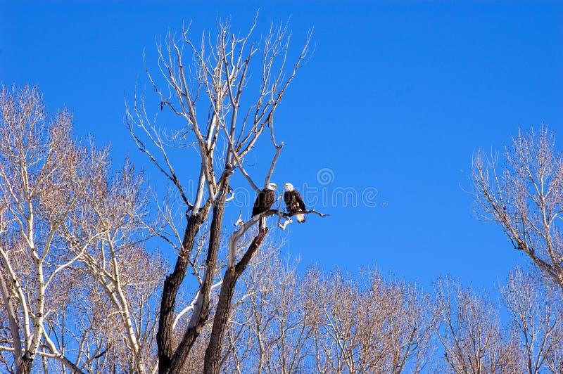 Mr.&mrs. kale adelaar royalty-vrije stock afbeeldingen