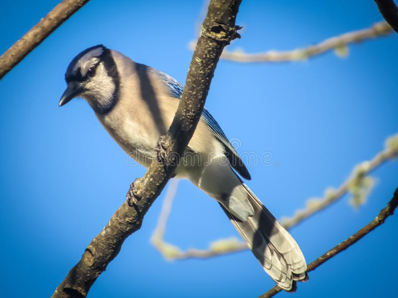 Mr Błękitnego Jay obsiadanie w drzewie fotografia stock