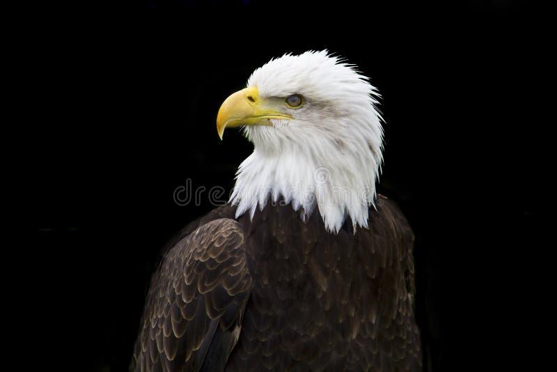 Mr Bald Eagle II royalty free stock image