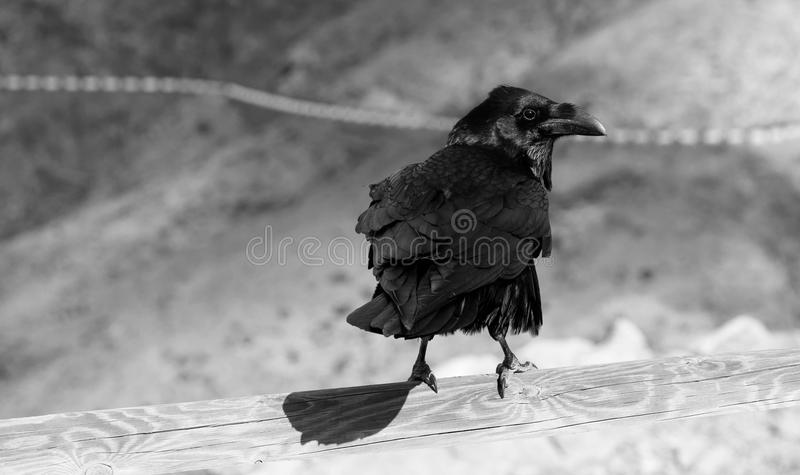 Mr Black Bird stock photo