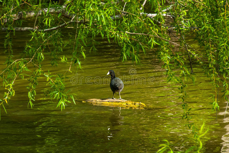 Mr. Duck enjoying te day. He found a dead limb in a pond. He kept an eye on me but insisted on facing his backside to me. You have to love nature. Near the royalty free stock photos
