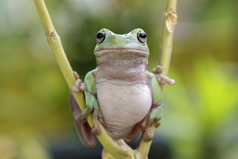 Mr. Fat Frog stock photography