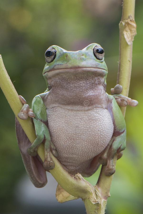 Mr. Fat Frog royalty free stock image