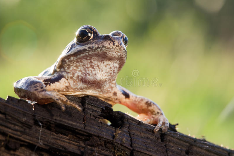 Mr. Frog. Speech on the rostrum to his people royalty free stock photo
