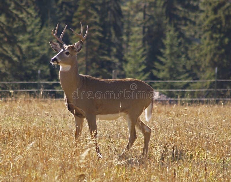 Download Mr. Majestic Whitetail Buck Stock Photo - Image: 1416058