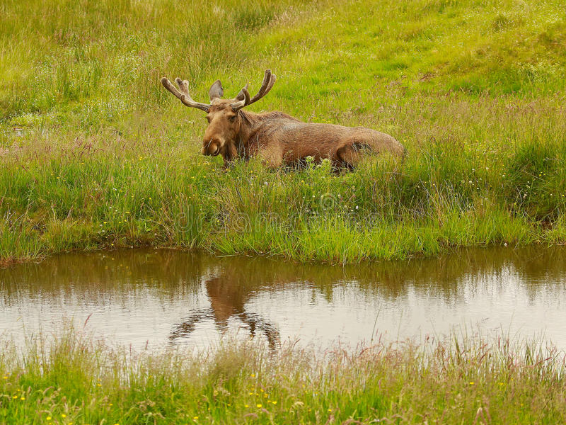 Mr Moose stock photography