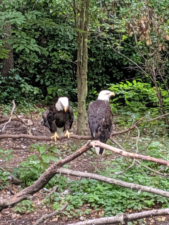 Mr. and Mrs. Bald Eagle stock photos