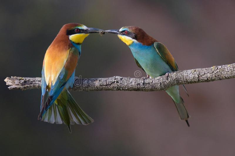 Mr & Mrs Bee eater. Passing a bee royalty free stock image