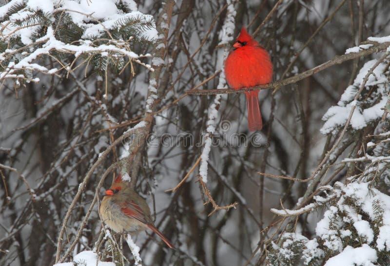 Mr. and Mrs. Cardinal stock photo