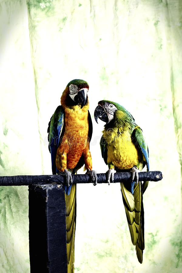 Mr and Mrs Macaw. A family portrait of Mr and Mrs Macaw members of the genus Primolius, on their favourite perch