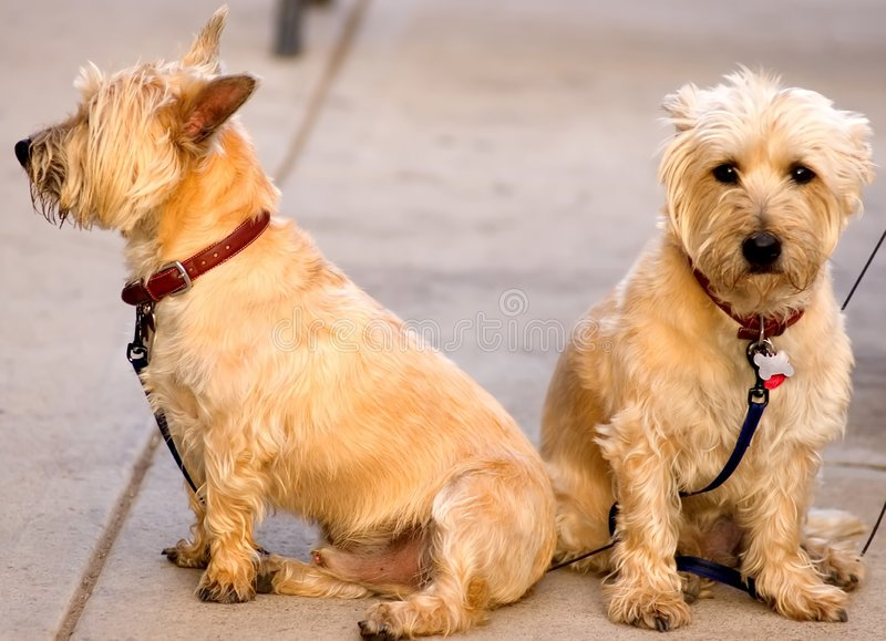 Download Mr.&mrs.scotty stock image. Image of small, couple, scotty - 181349