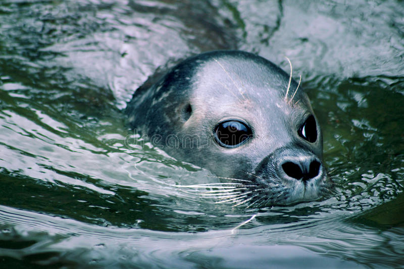 Mr Seal stock photography