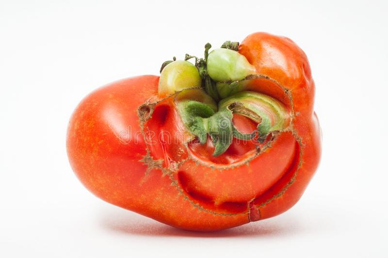 Mr. Tomato. Tomato grown with a funny face, like a mustached man with a big smile. royalty free stock photography