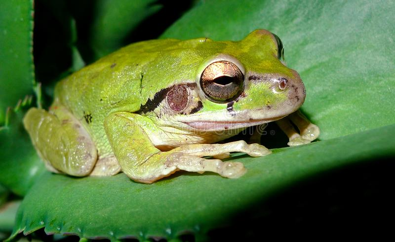 Mr. Tree Frog at night. At tree frog rests on a leaf at night, preparing for his next adventure in Costa Rica royalty free stock photos