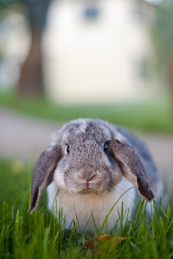 Mr Wuffles, the floppy eared rabbit. Close-up of Mr Wuffles, the floppy eared rabbit sitting in long grass stock photography