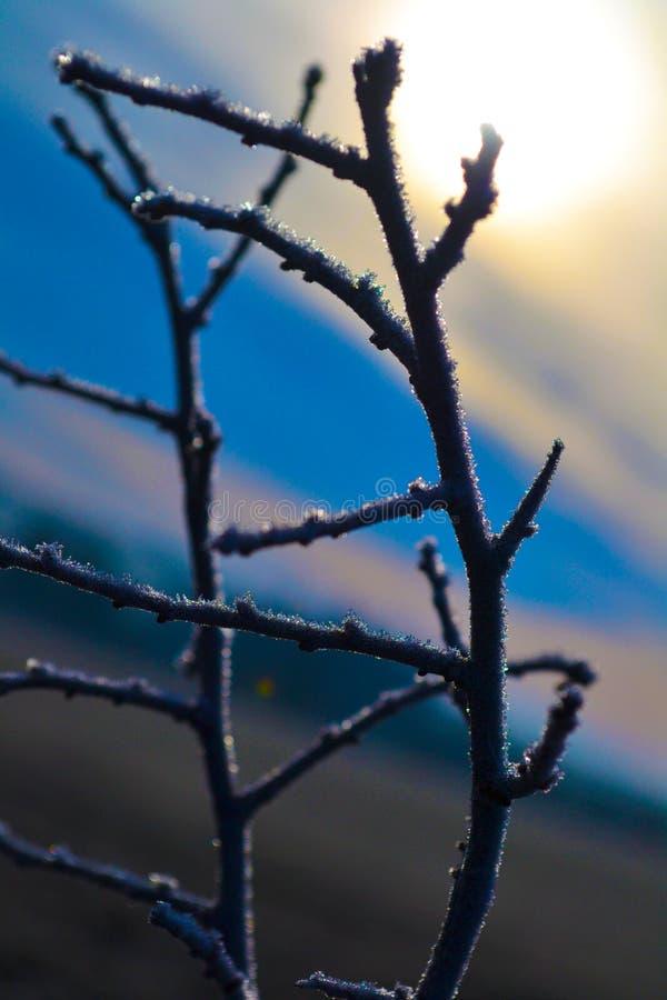 Mroźne gałązki przy wschodem słońca zdjęcie royalty free