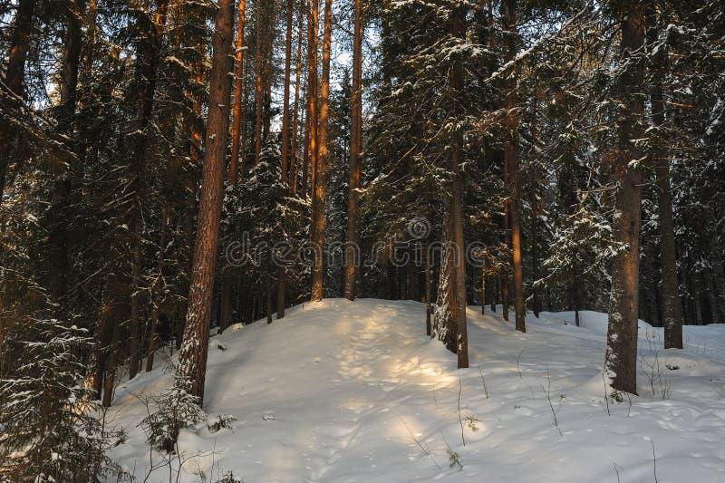 Mroźny las z zmierzchu słońca świeceniem zdjęcie royalty free