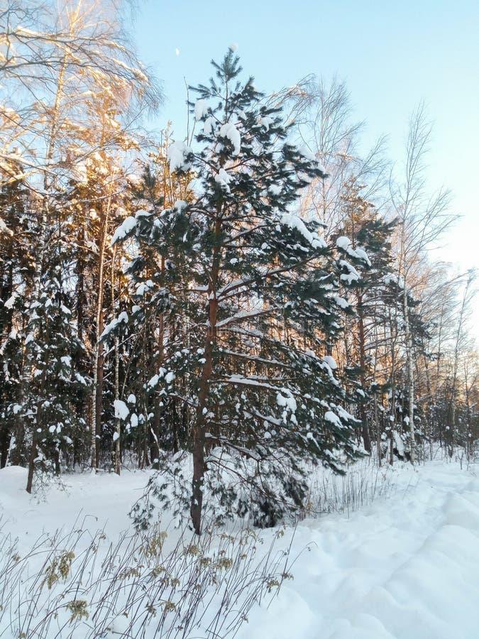 Mroźny pogodny zima dzień w śnieżnej wsi Młoda sosna pod obfitym śnieżnym nakryciem fotografia royalty free